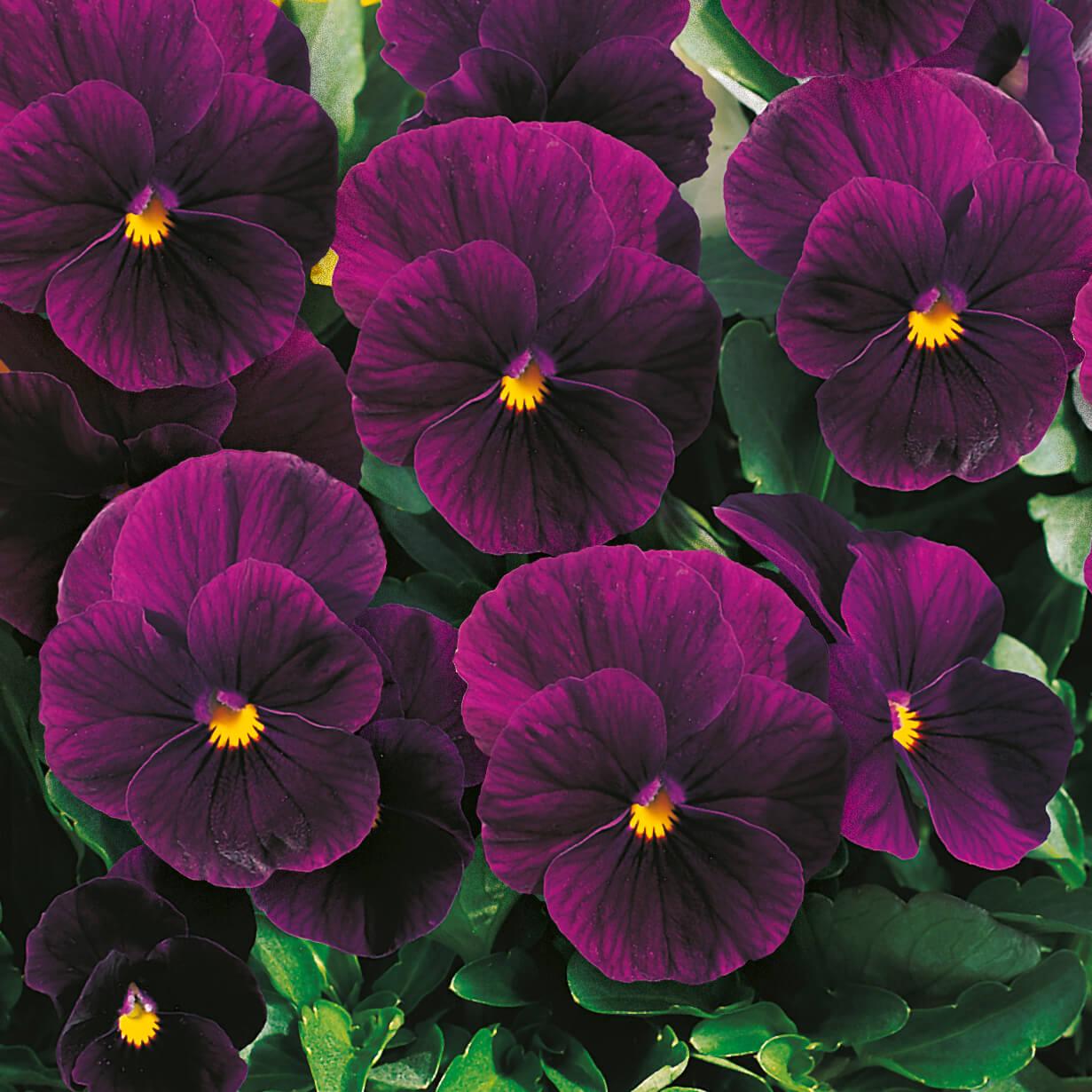 Hornveilchen (Cornuta) Violet