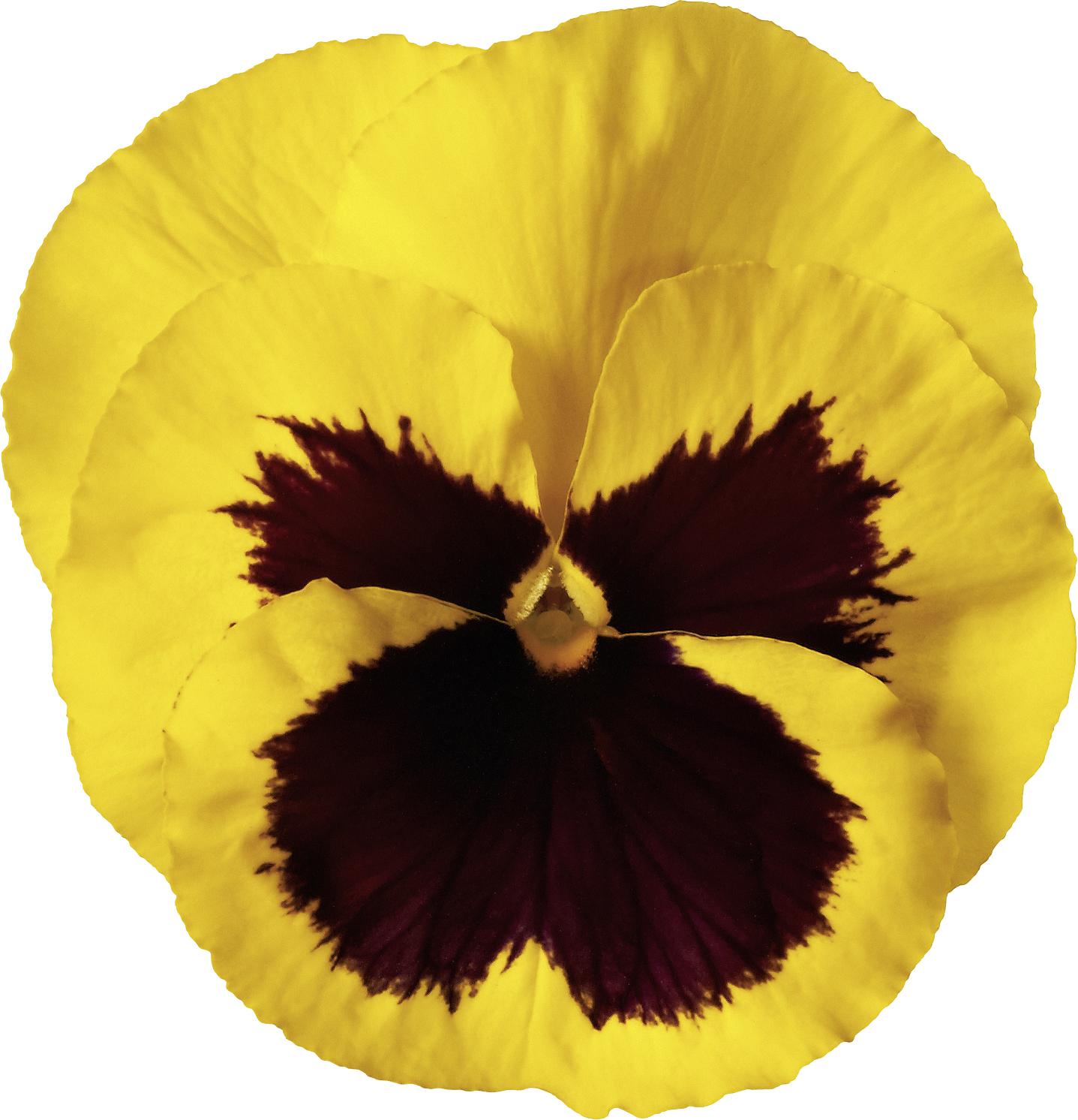 Stiefmütterchen (Viola) Gelb mit Auge