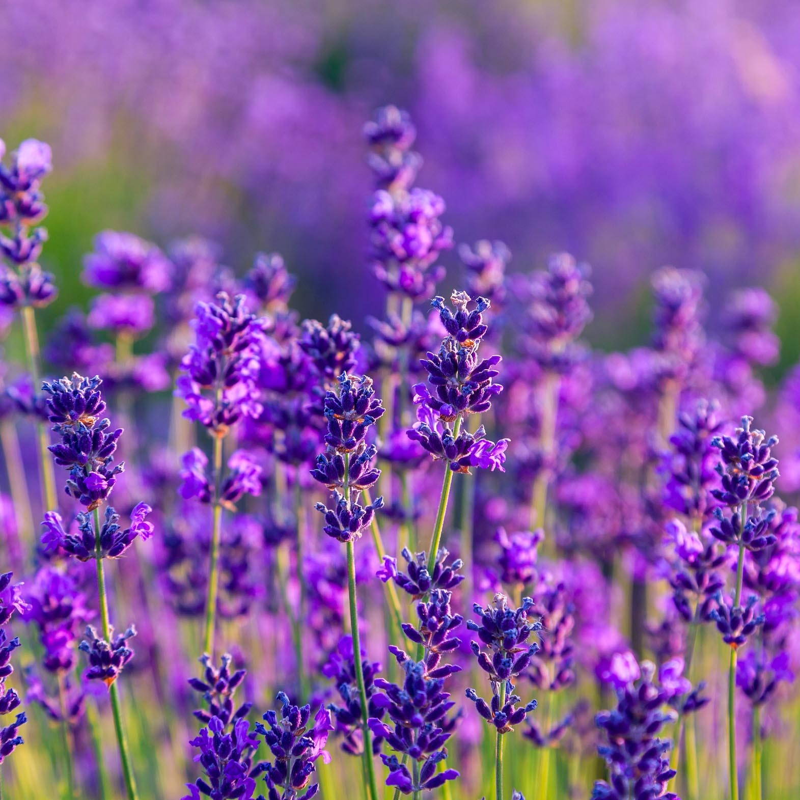 Winterharter Stauden-Lavendel T12 'Sentivia Blue'