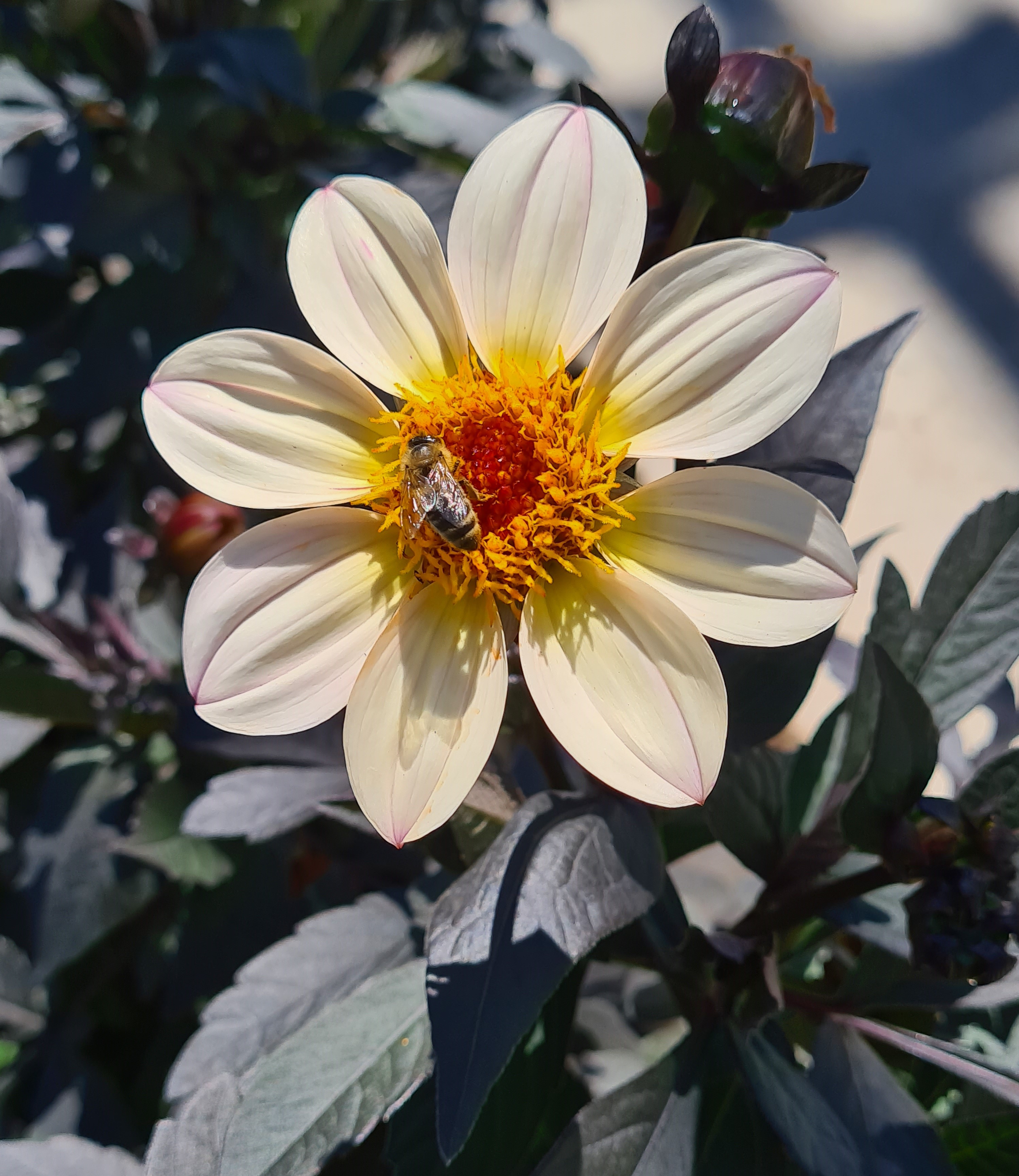 Dahlie T19 Happy Das Cream White - einfach blühend