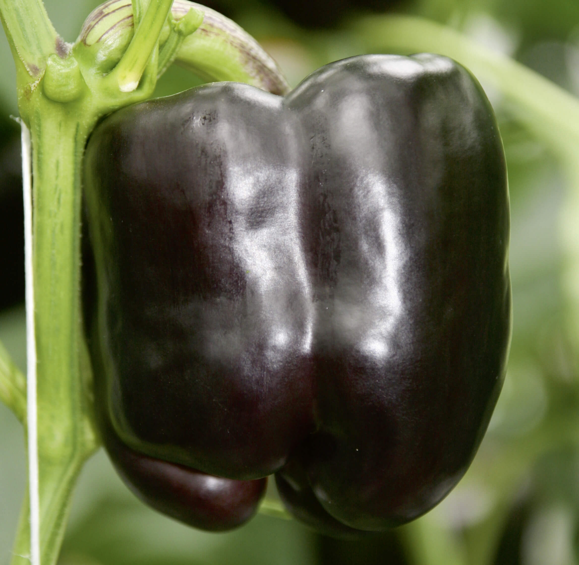 Block-Paprika 'Beluga® Purple'