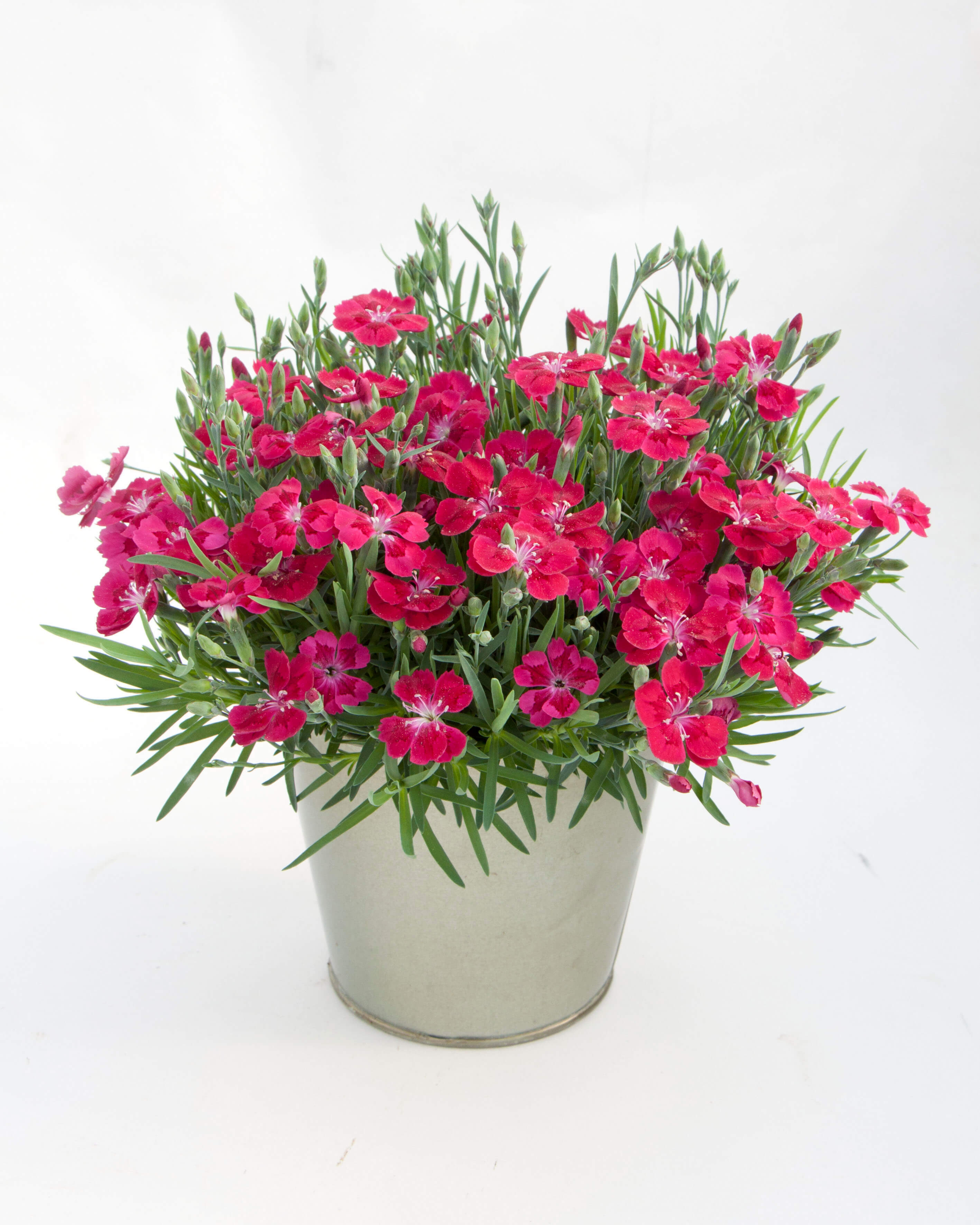 Nelke (Dianthus) T12 Pillow Red - einfachblühend + winterhart