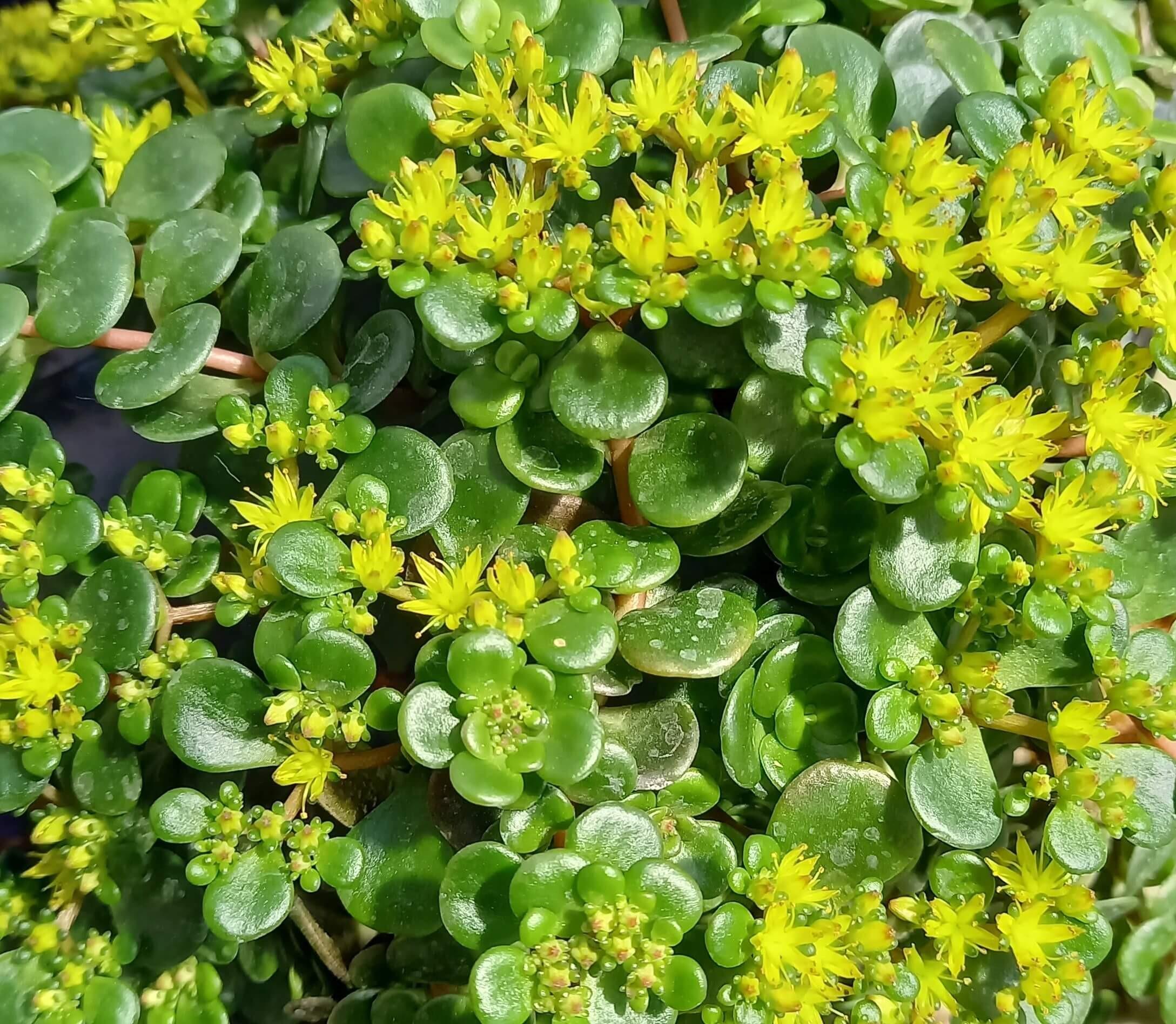 Mauerpfeffer (Sedum tetractinum) T12 Coral Reef - winterhart