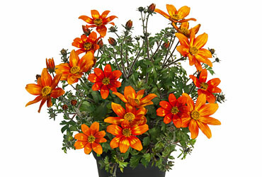 "Bidens Goldmarie ""Campfire Funny Honey"""