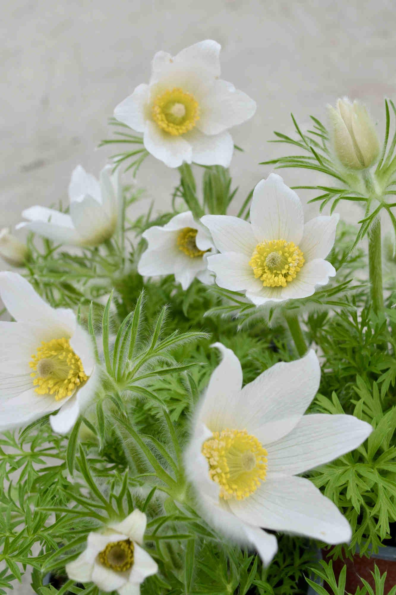 Küchenschelle 'Pinwheel White' - Pulsatilla vulgaris 'Pinwheel White'