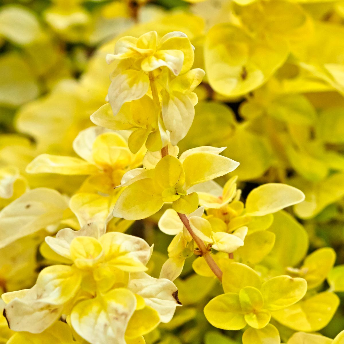 Pracht-Oregano 'Gold Nugget' winterhart, goldgelber Oregano
