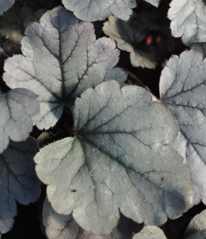 Purpurglöckchen (Heuchera) 'Silver Gumdrop' T12, silbergrau - winterhart