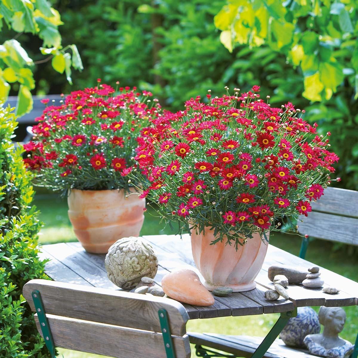 Strauchmargerite (Argyranthemum) 'rot'