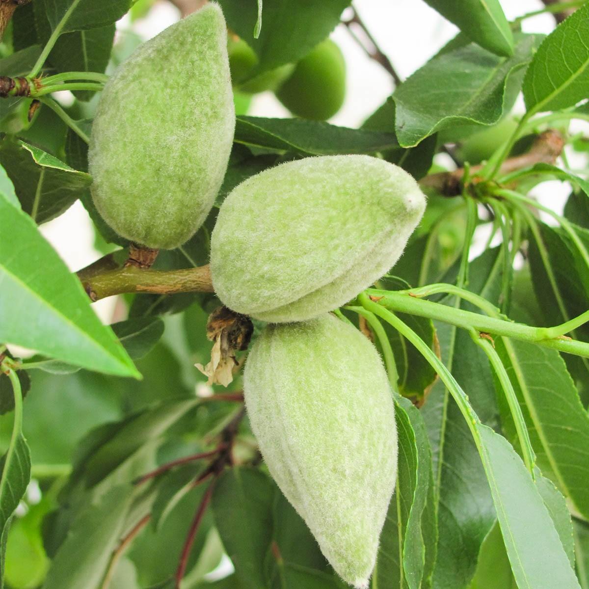 Mandel-Stämmchen 'Nut Me® Almond'