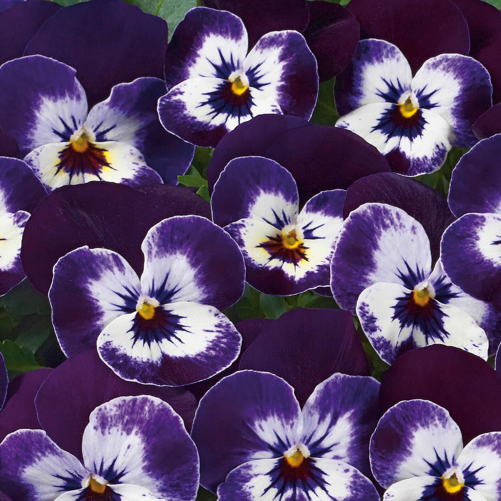 "Hornveilchen (Cornuta) Evo ""Purple Face"""