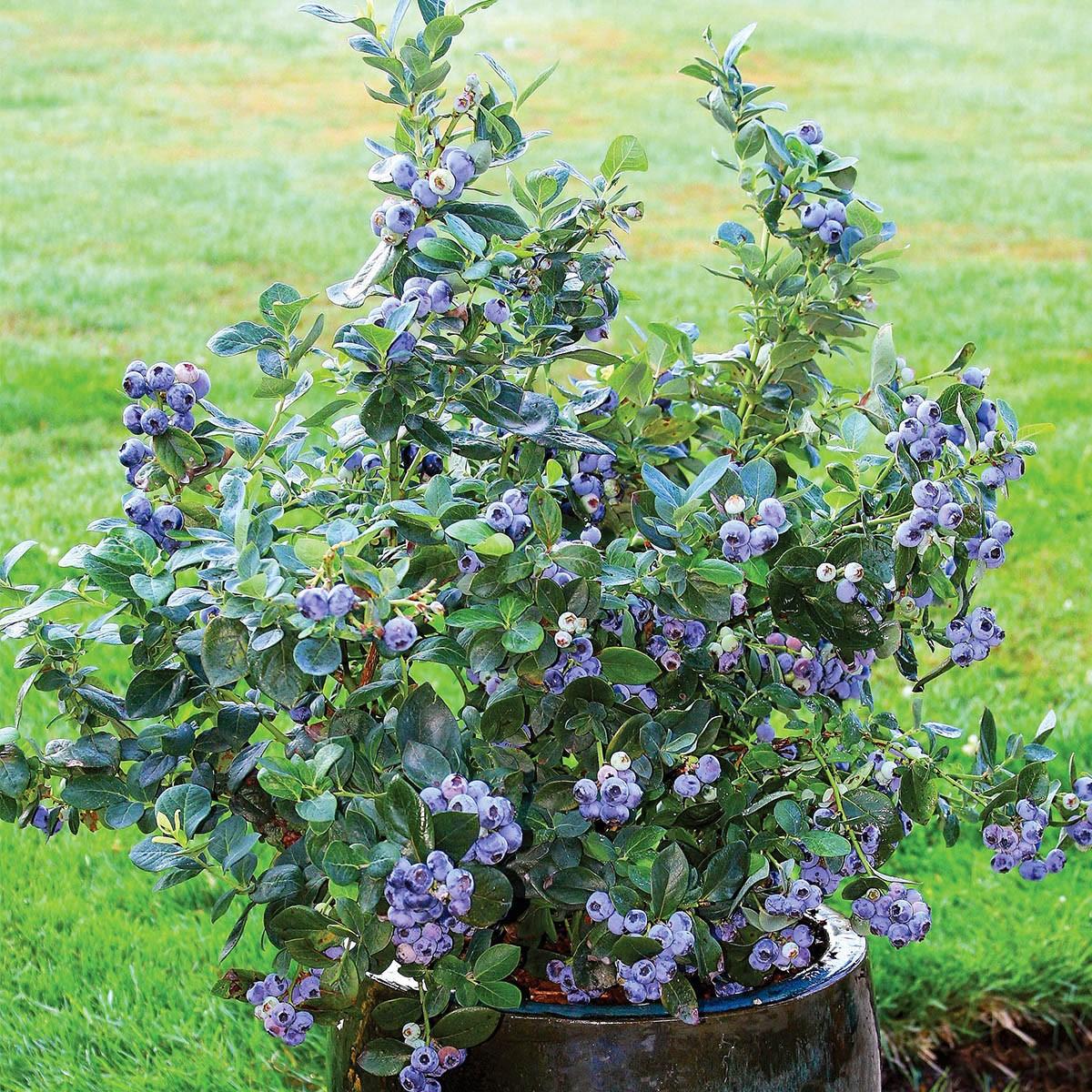 Kompakte Heidelbeerpflanze 'Northcountry'