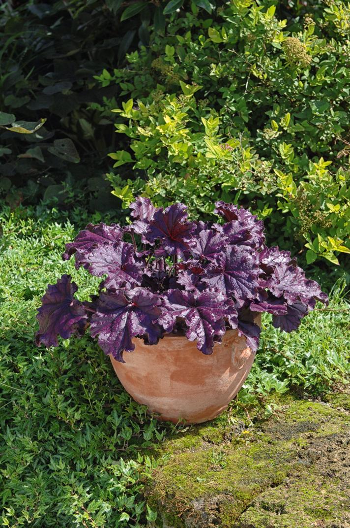 Purpurglöckchen (Heuchera) 'Forever Purple' T12 - winterhart -
