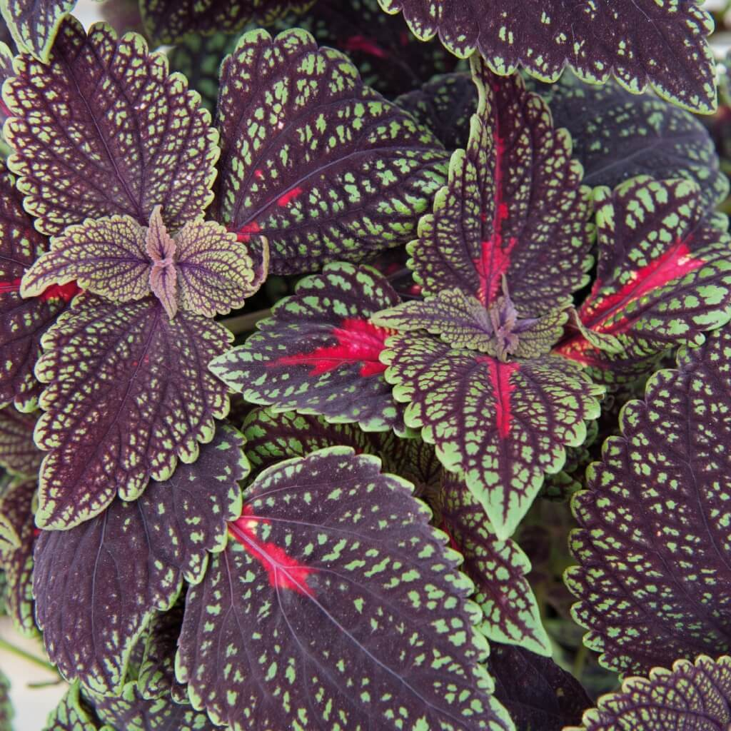 Buntnessel (Coleus) 'Abbey Road'