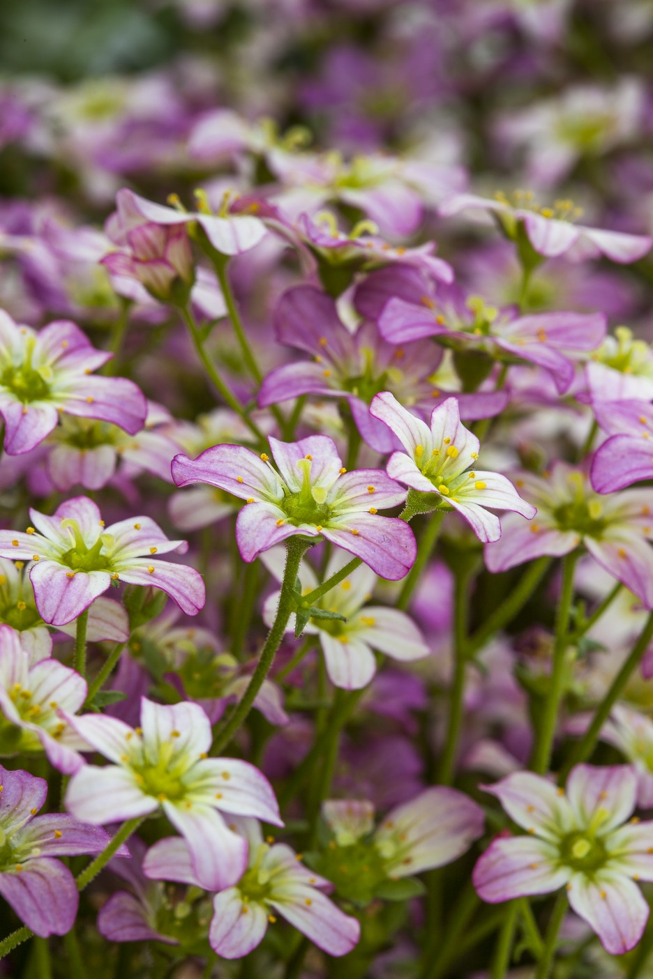 "Steinbrech (Saxifraga x arendsii) ""Touran"" pink"