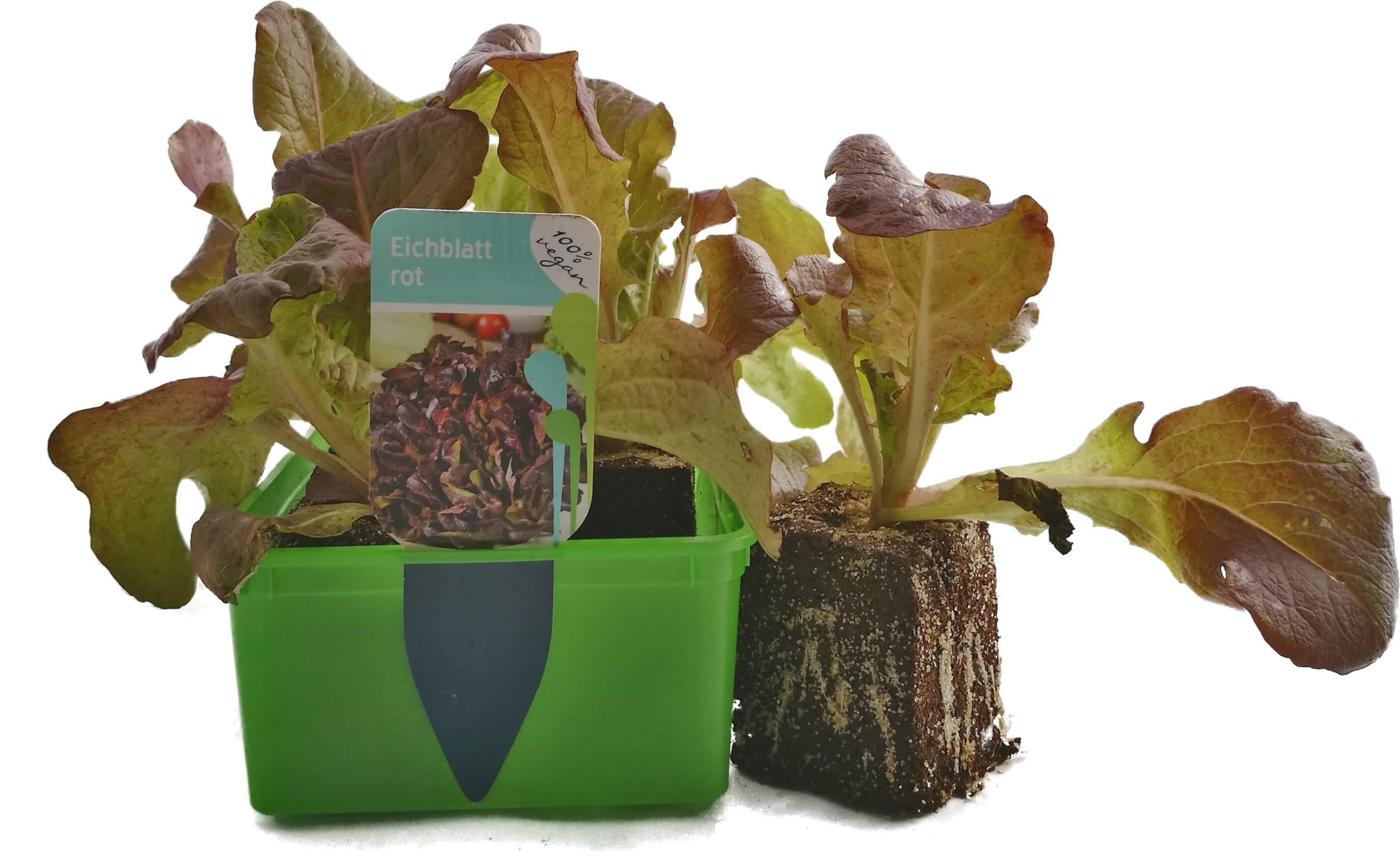 Salat Eichblatt rot 6er Schale