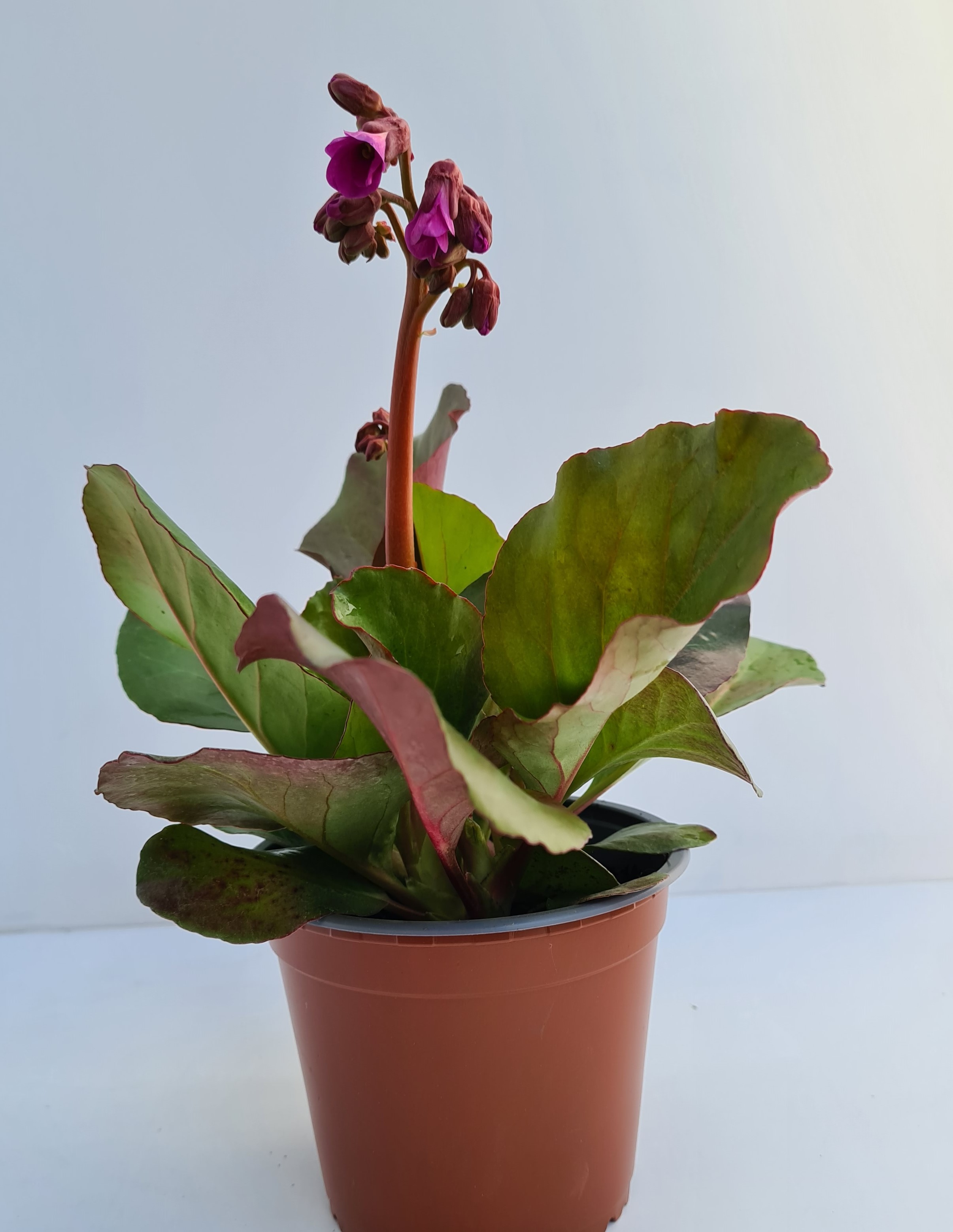 Bergenia cordifolia T12 Shoeshine rosa - sehr winterhart