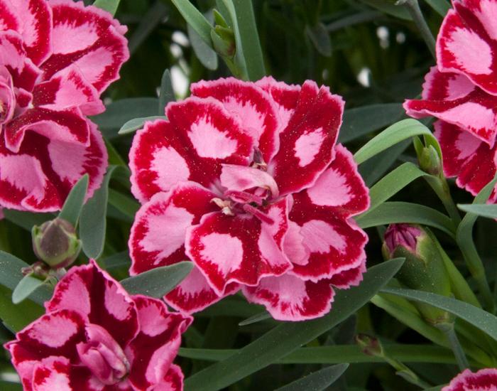 Nelke (Dianthus) T12 Diantica Strawberry Cream - Duft-Staudennelke  winterhart