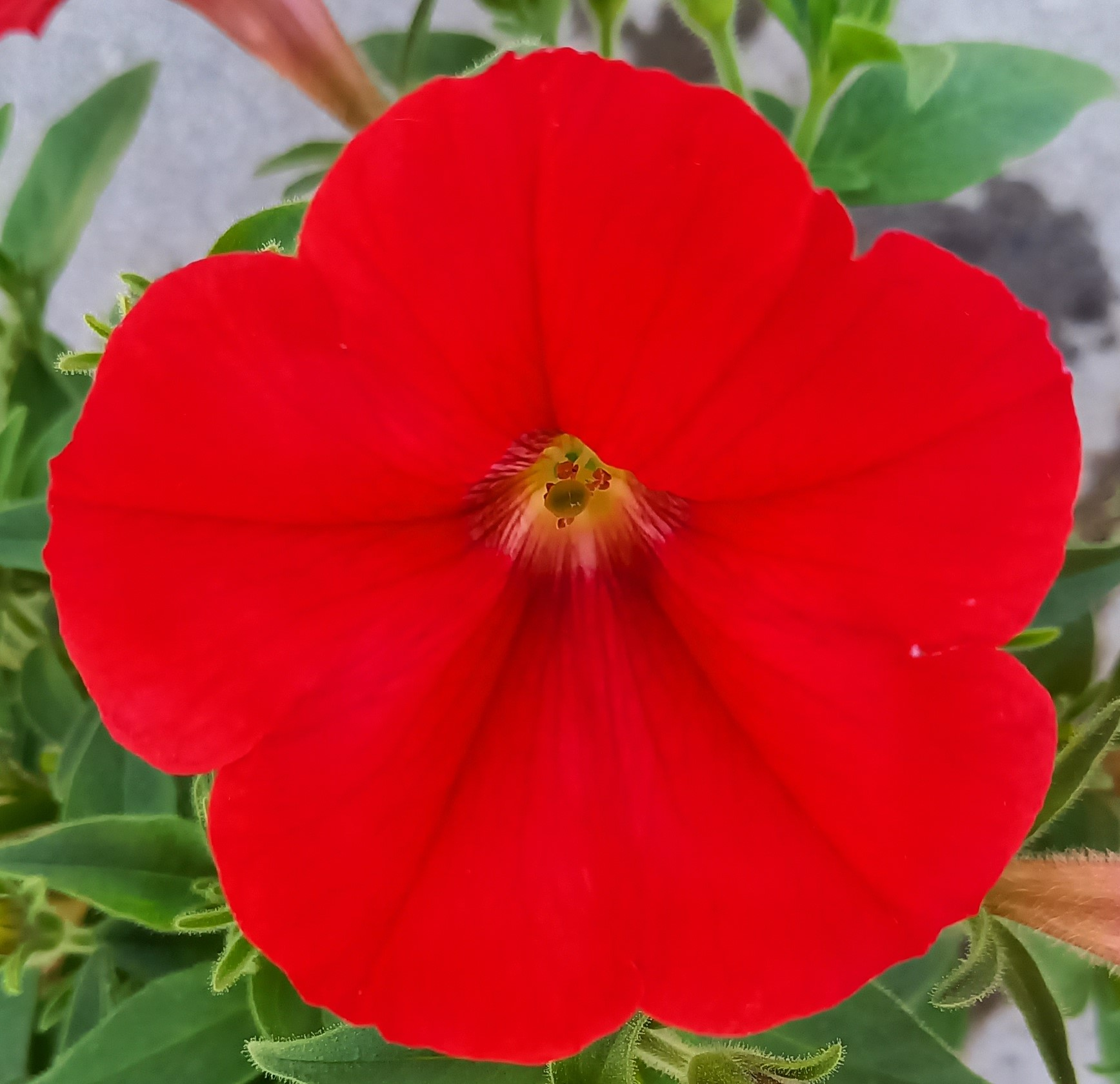 Petunie 'Veranda Scarlet' T12