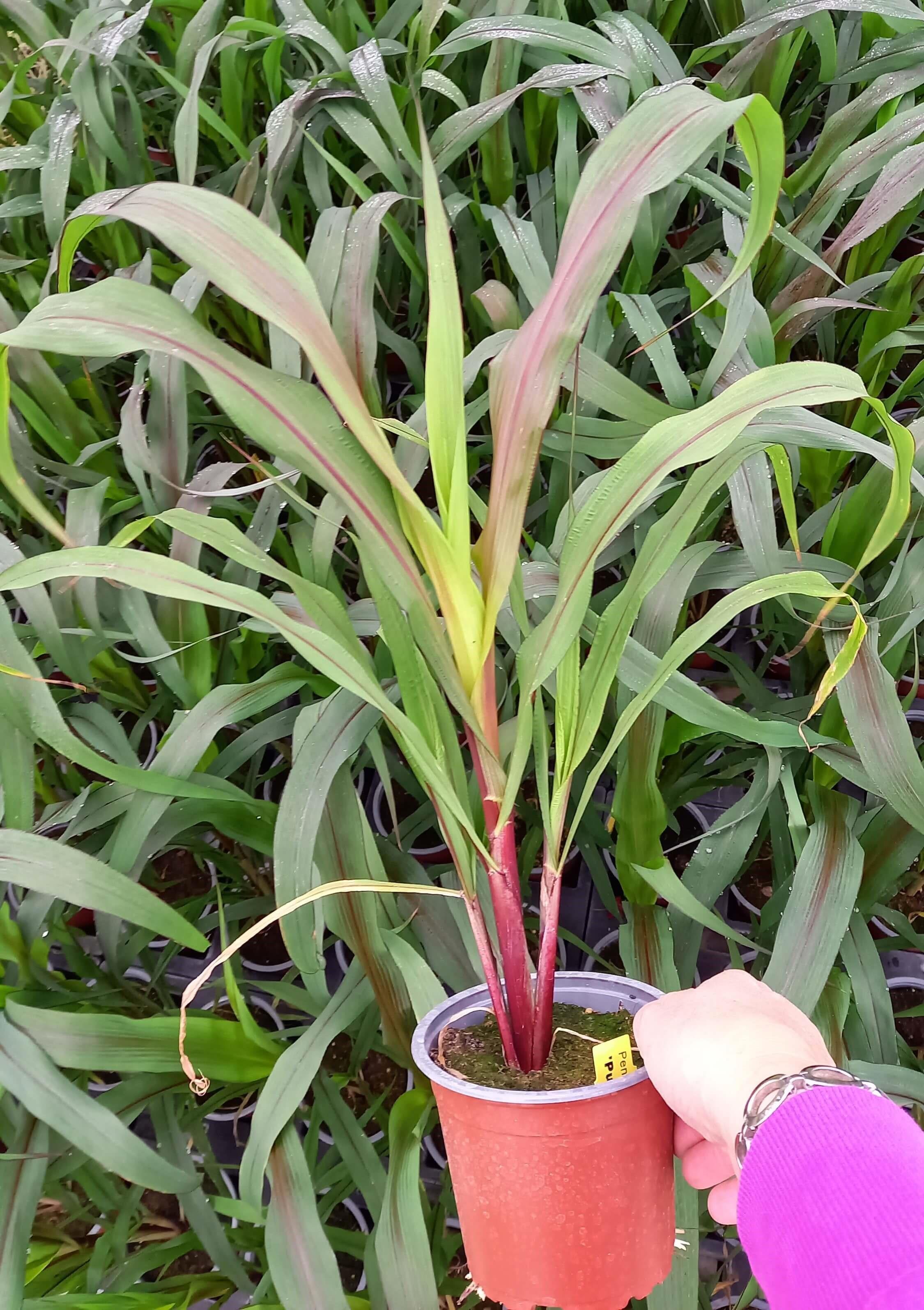 Perlhirse (Pennisetum glaucum) 'Purple Baron' T12