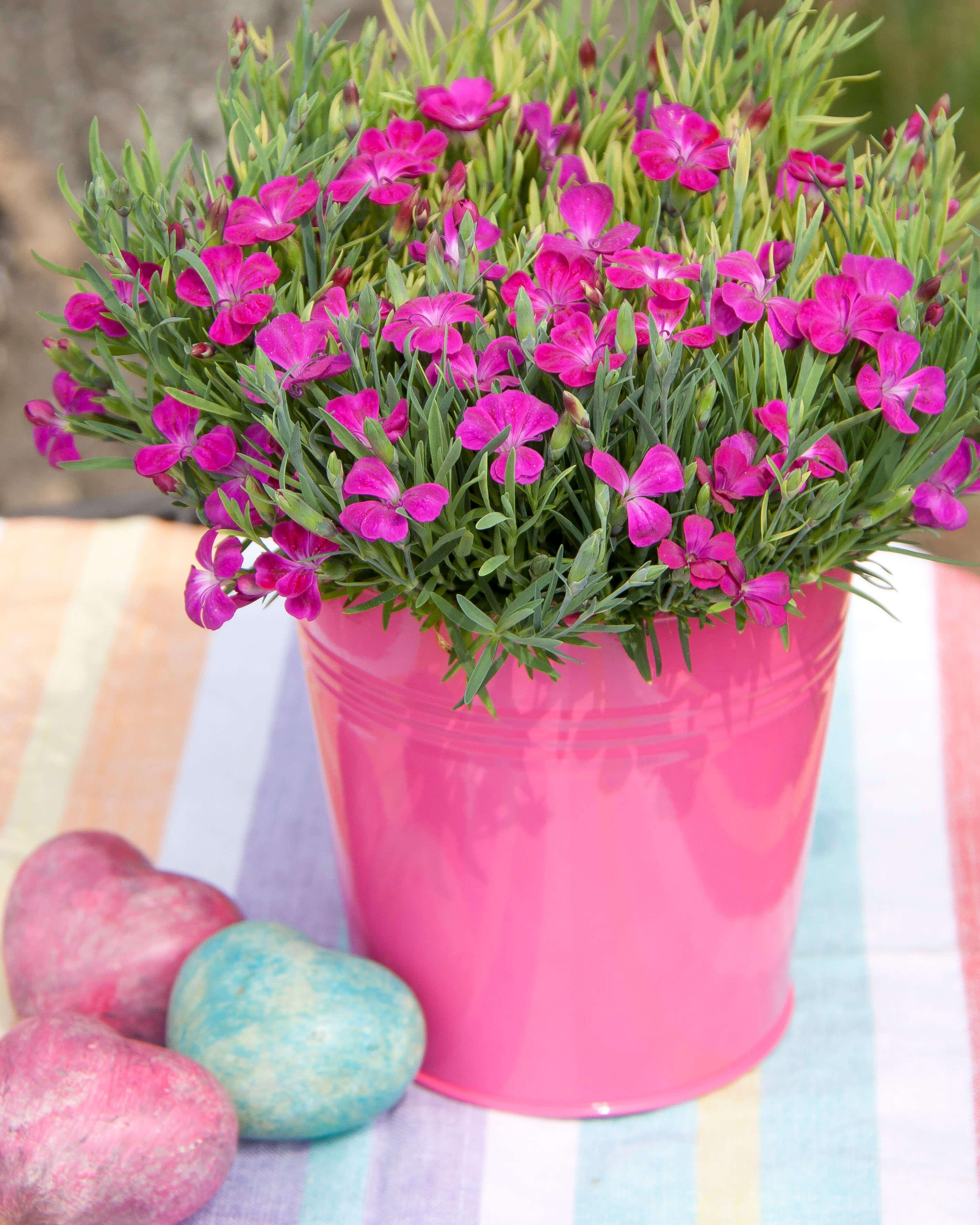"""Nelke (Dianthus) einfach """"Pillow"""" purple"""