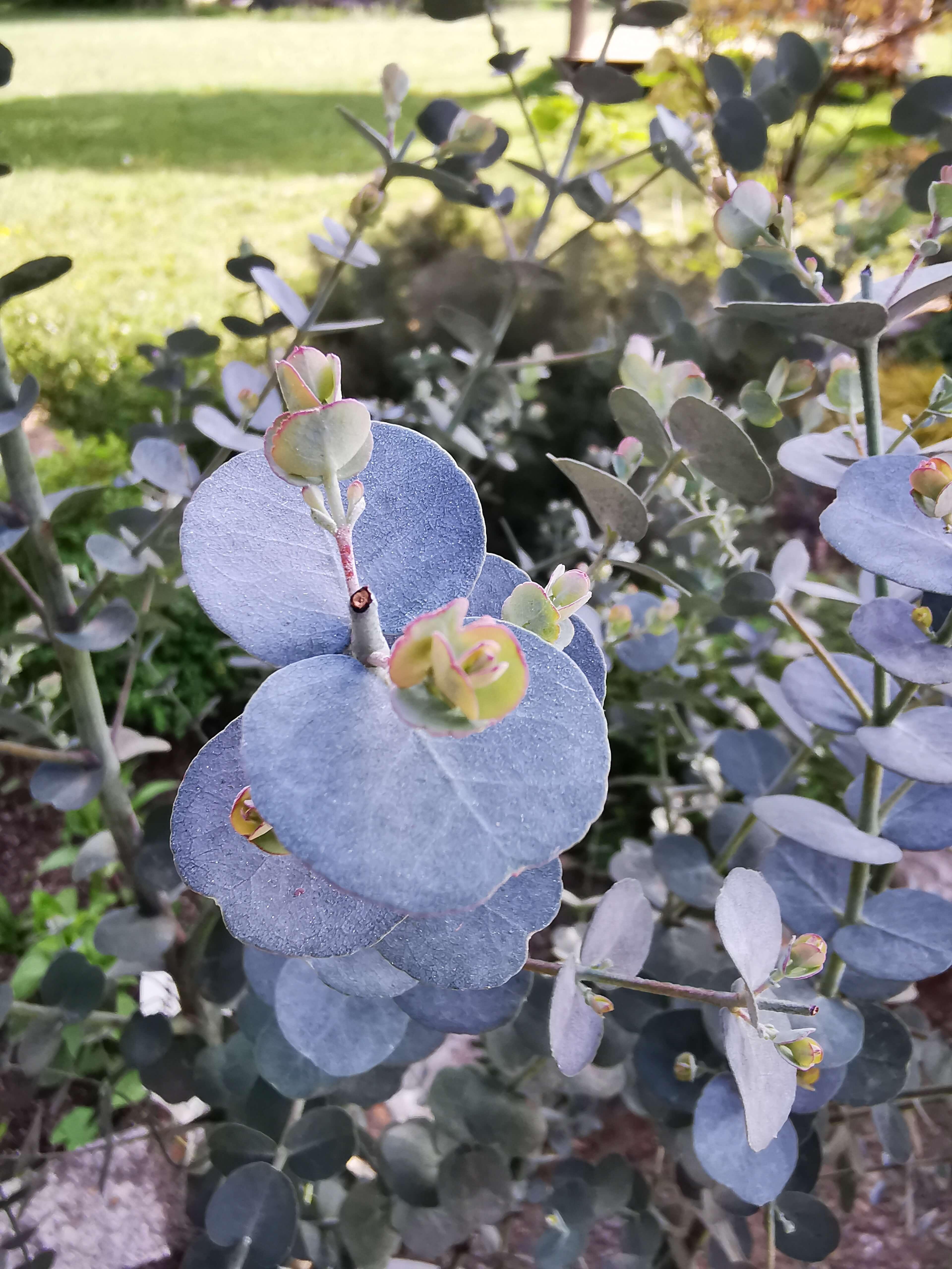 Silbertropfen (Eucalyptus gunnii) Silbertropfen T12 -winterhart