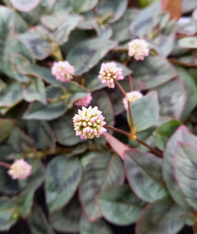 Knöpfchen-Knöterich (Polygonum capitatum) 'Caramel Candy' T12