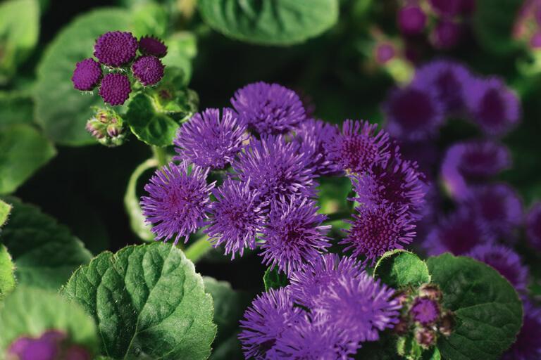 Leberbalsam (Ageratum) T12 Artist Basso Purple - blauviolett