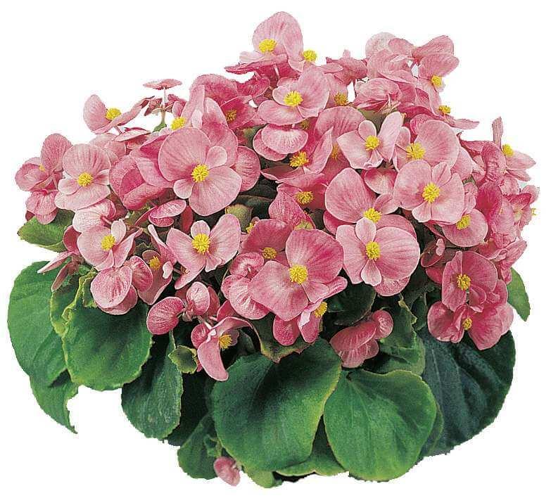Eisbegonie (Semperflorens) grünlaubig rosa