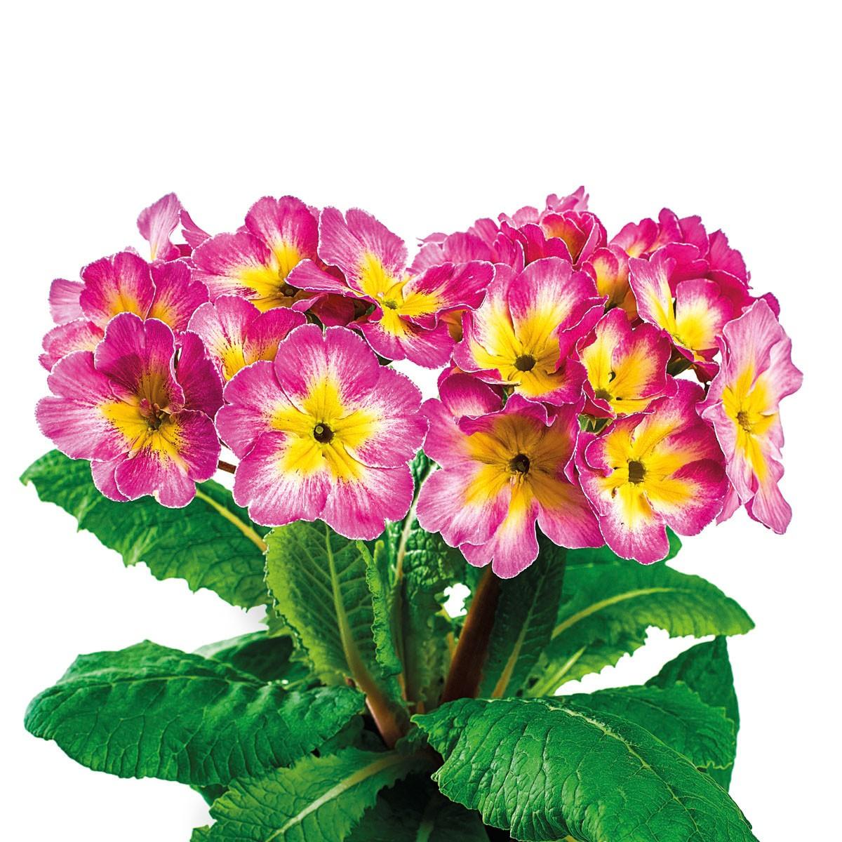 Stängel-Primel 'Inara® Candy Rose'