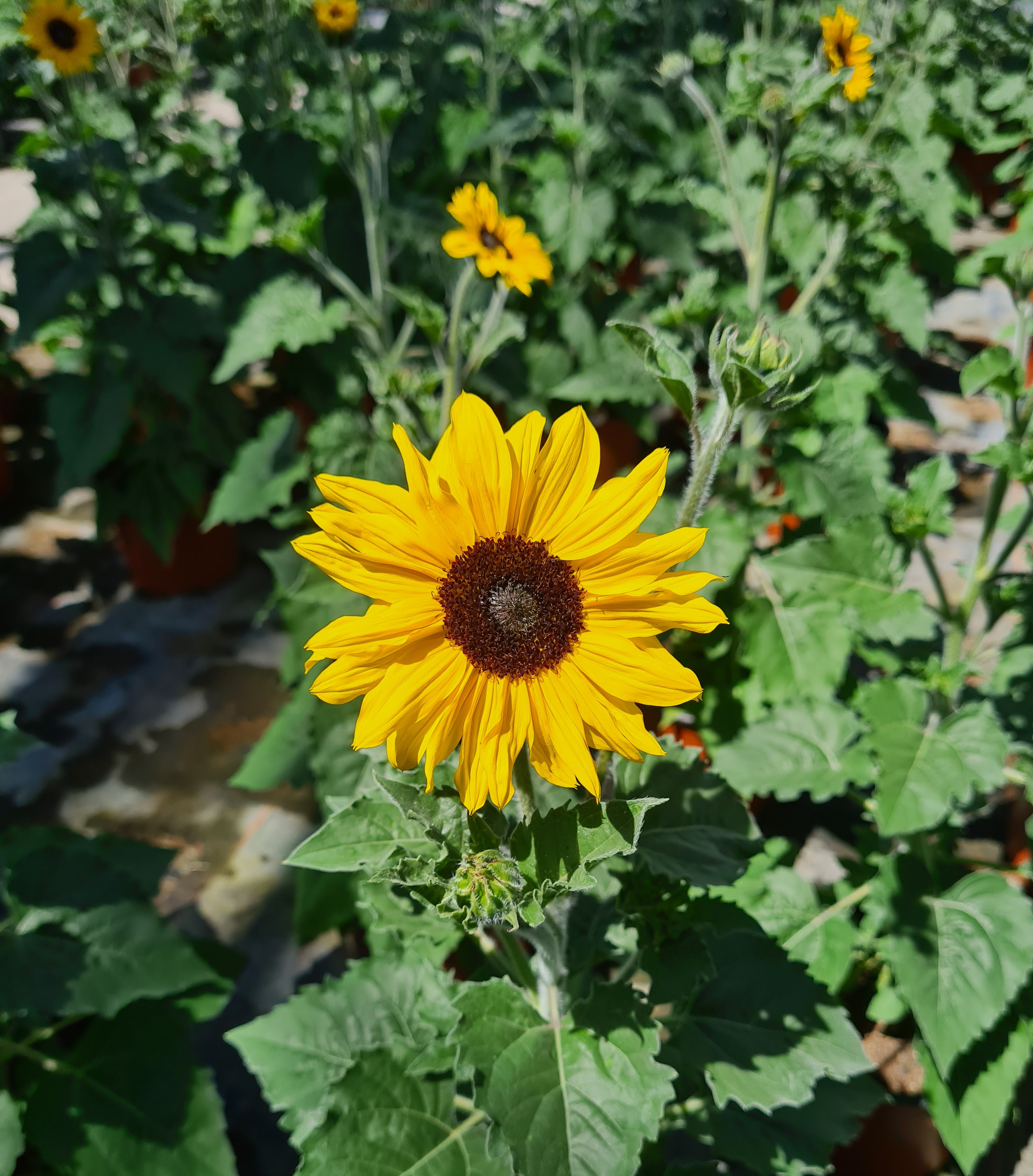 Helianthus (Sonnenblume) T19 SunBlast