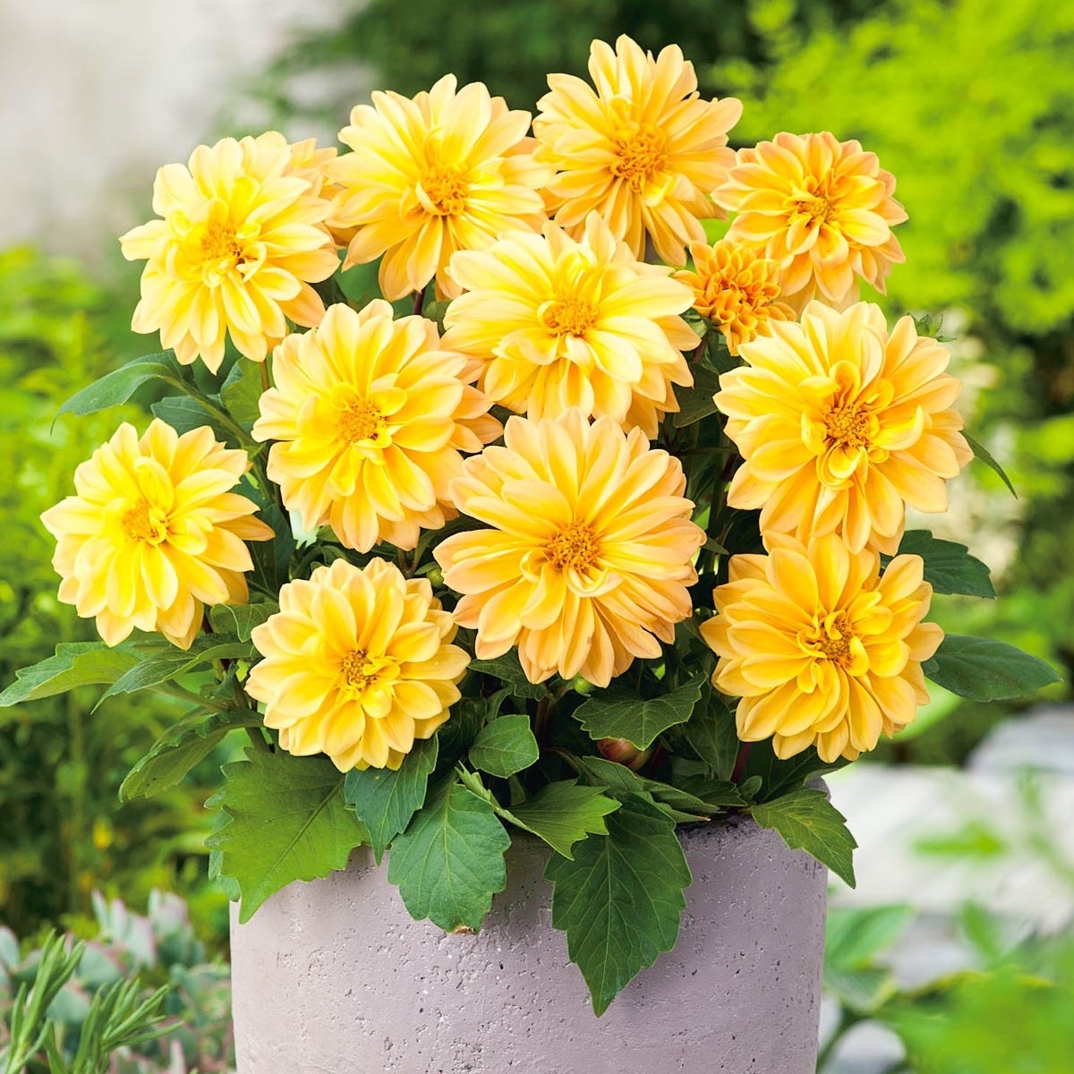 Dahlie 'Lubega Yellow'