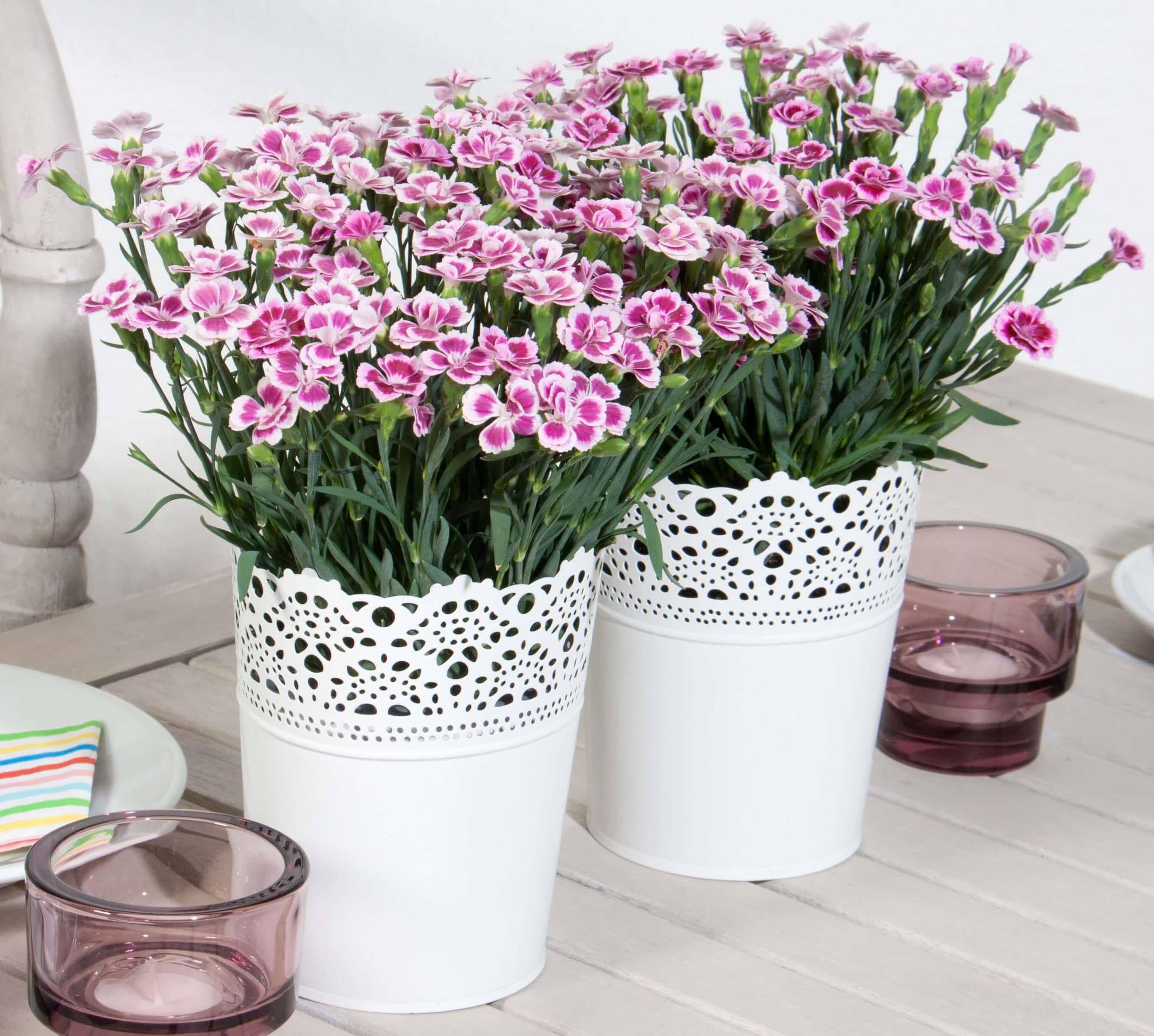 Nelke (Dianthus)  'Pink Kisses®' T12, rosa mit Auge - winterhart