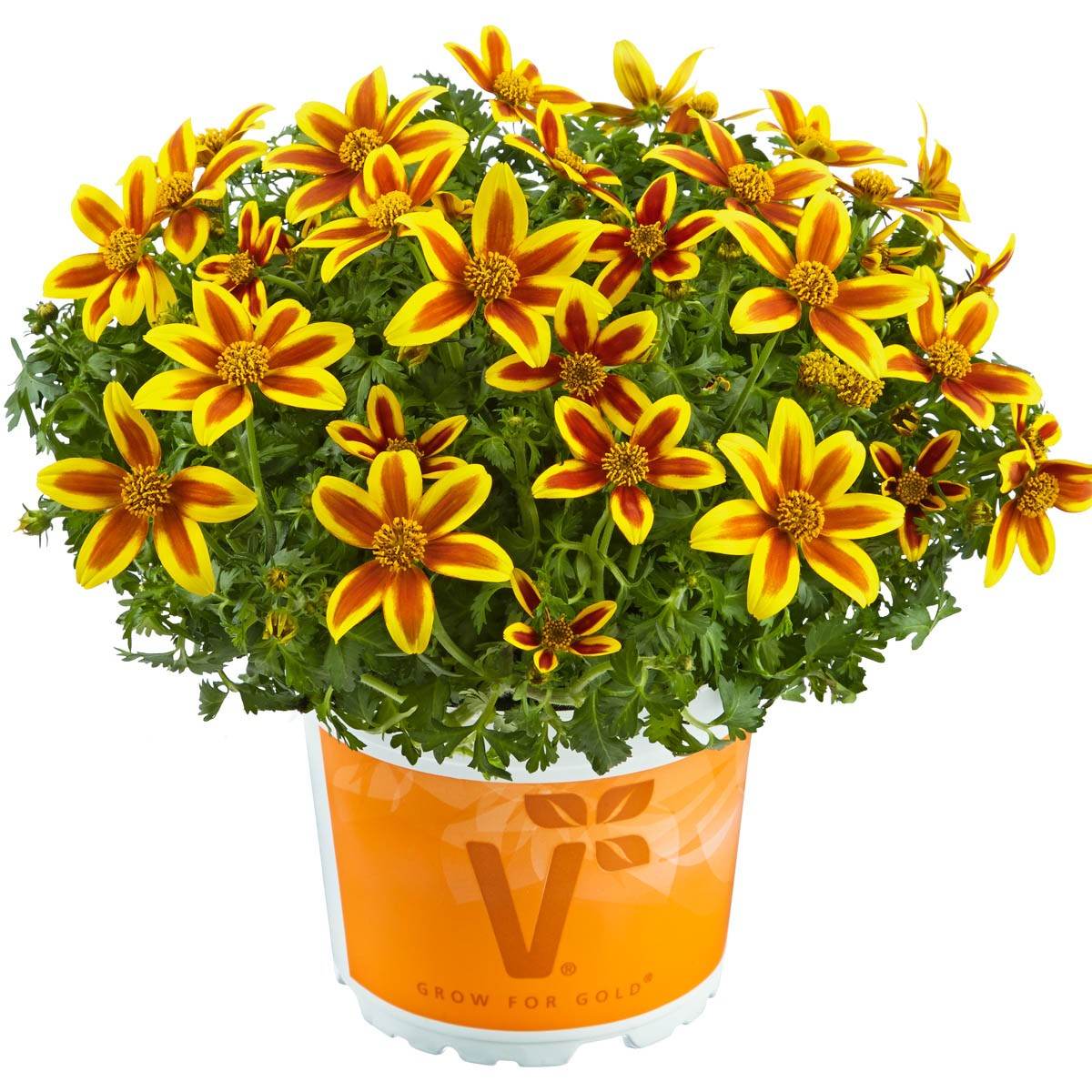 Bidens Funkenmarie 'Hawaiian Flare Yellow Red Star'