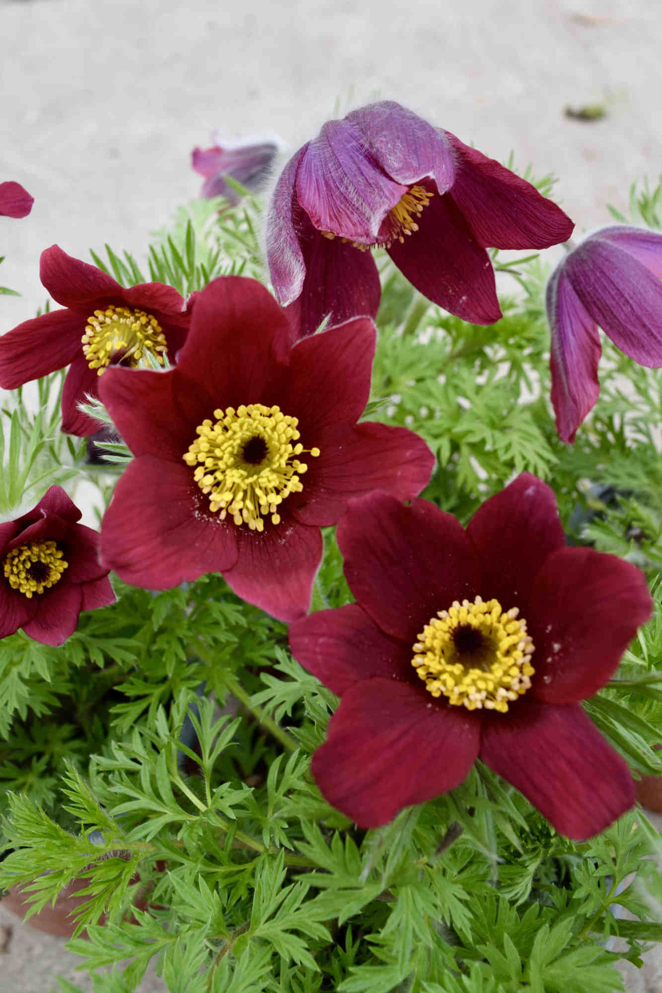 Küchenschelle 'Pinwheel Dark Red Shades' - Pulsatilla vulgaris 'Pinwheel Dark Red Shades'