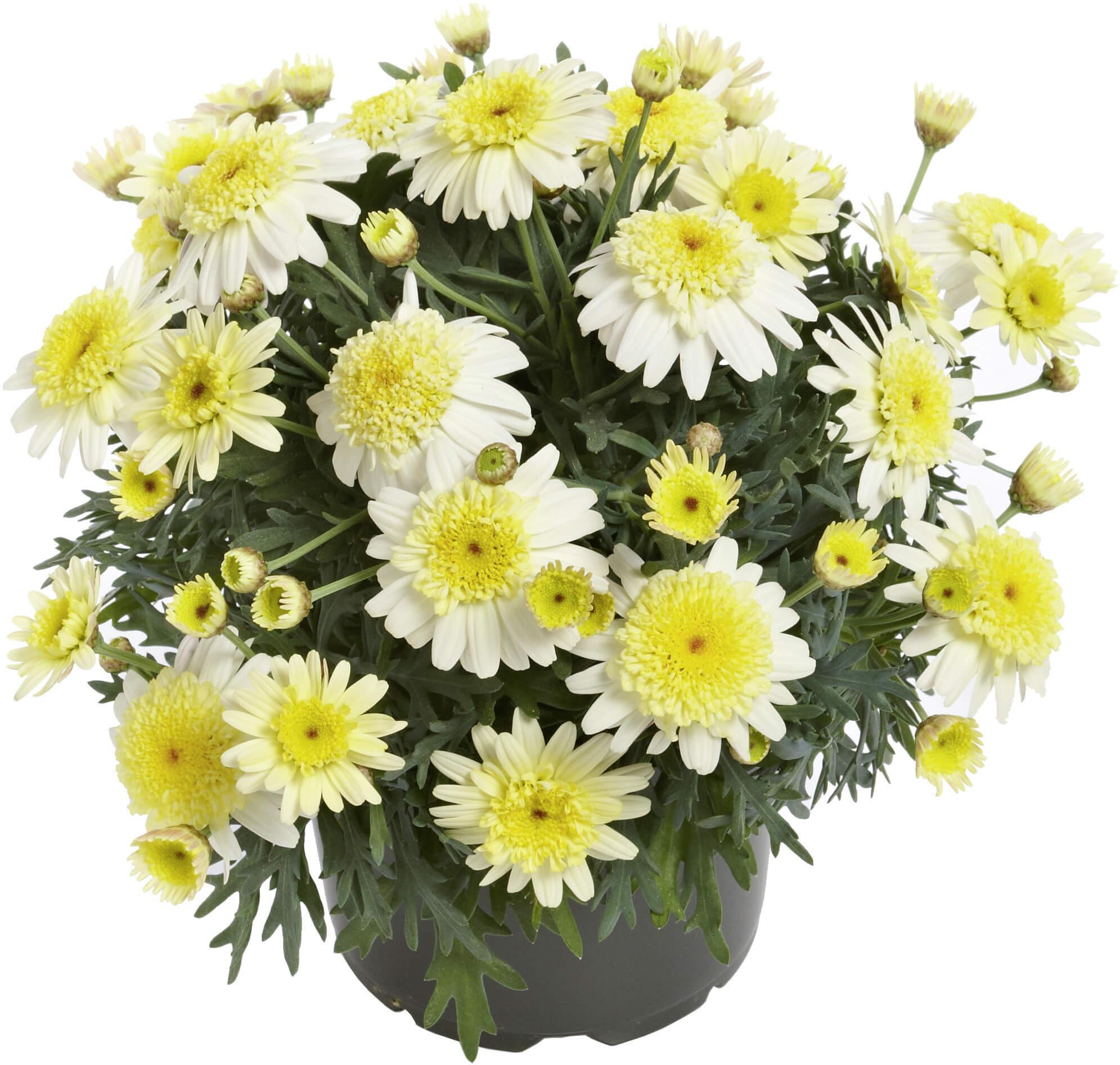 Strauchmargerite (Argyranthemum) 'lemon' gefüllt
