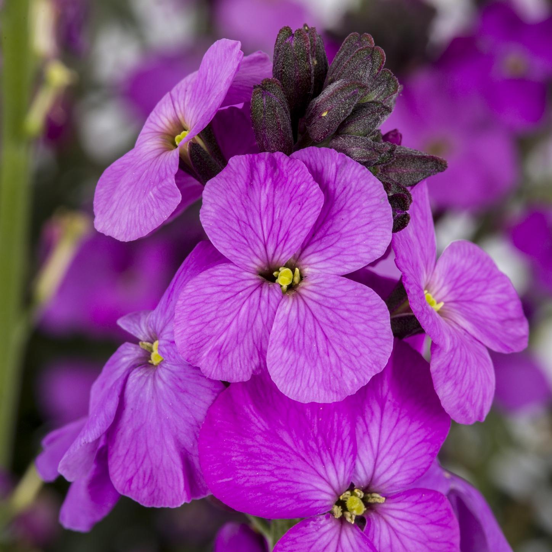 Erysimum 'Bowles Mauve' – Violetter Schöterich