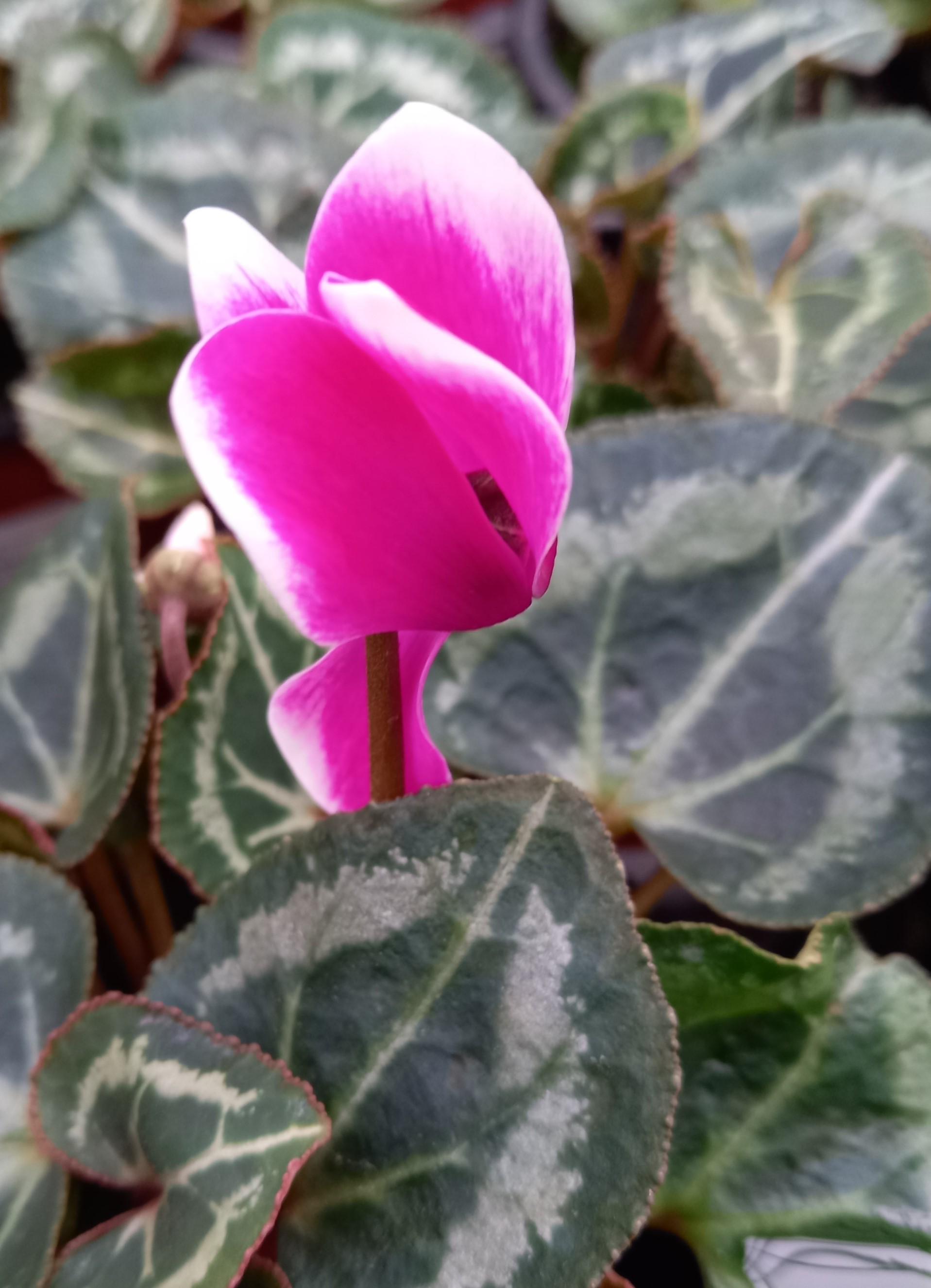 Alpenveilchen (Cyclamen persicum) 'Metis® Fantasia Violet Fonce' T11