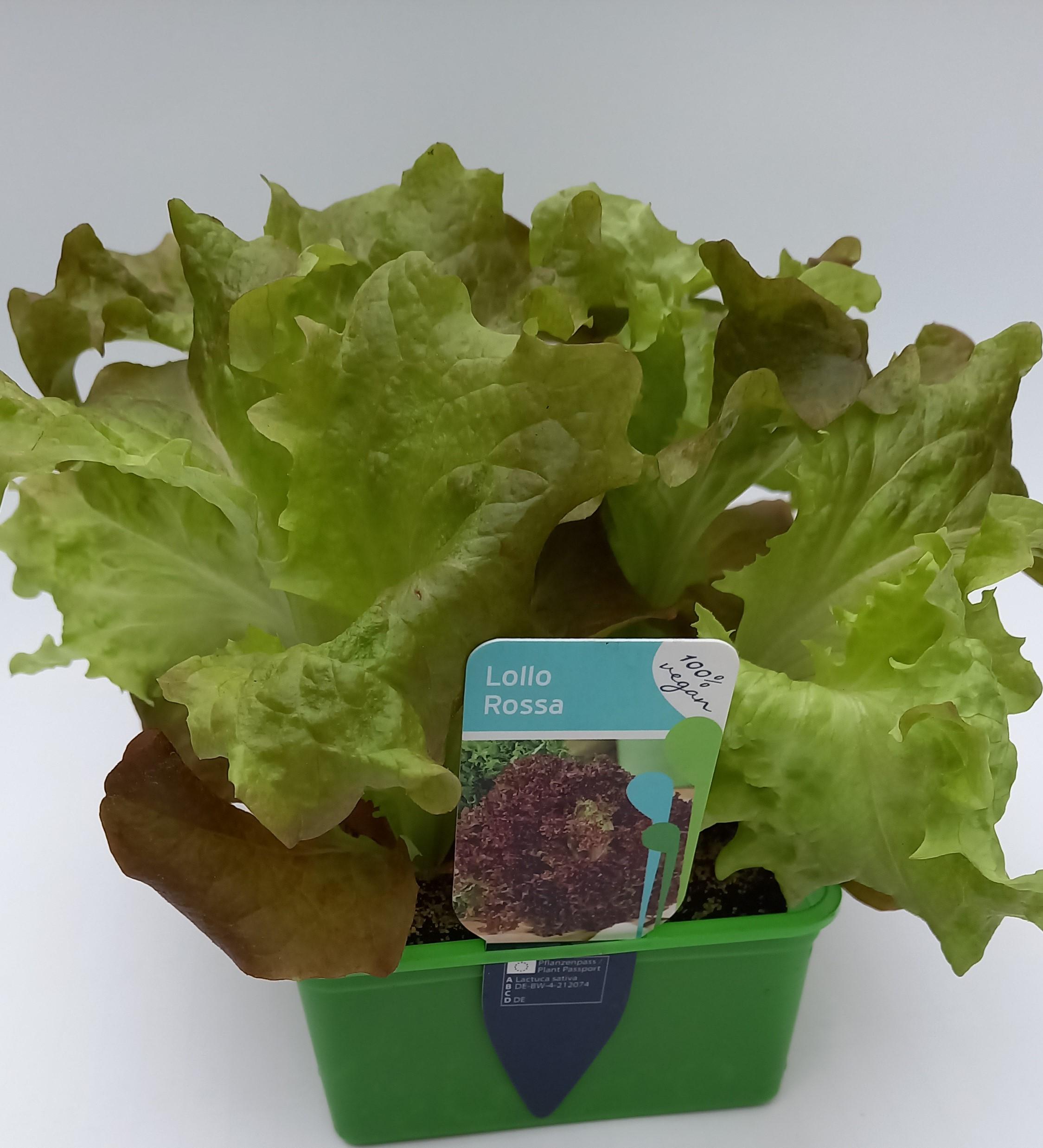 Lollo Rosso Salat  6er Schale