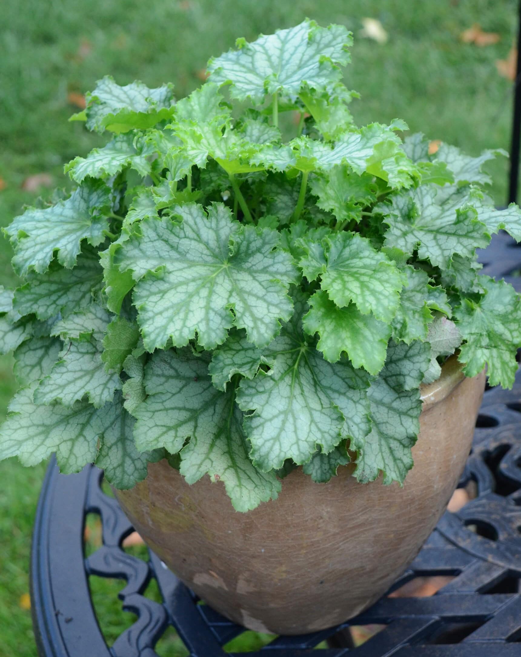 Purpurglöckchen (Heuchera) 'Lime Swizzle' T12, grün-silber - winterhart -