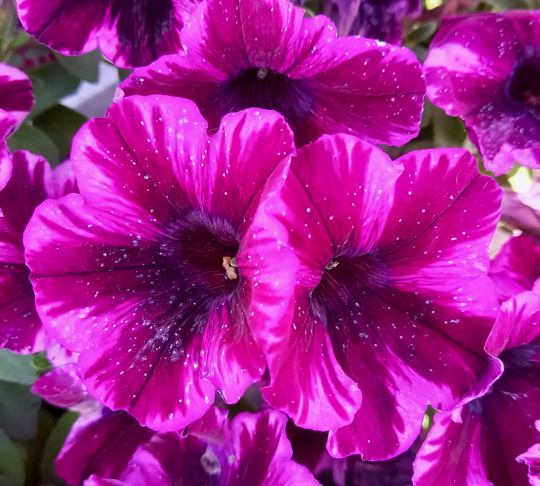Petunie T12 'Crazytunia Ultra Violet'  hängend