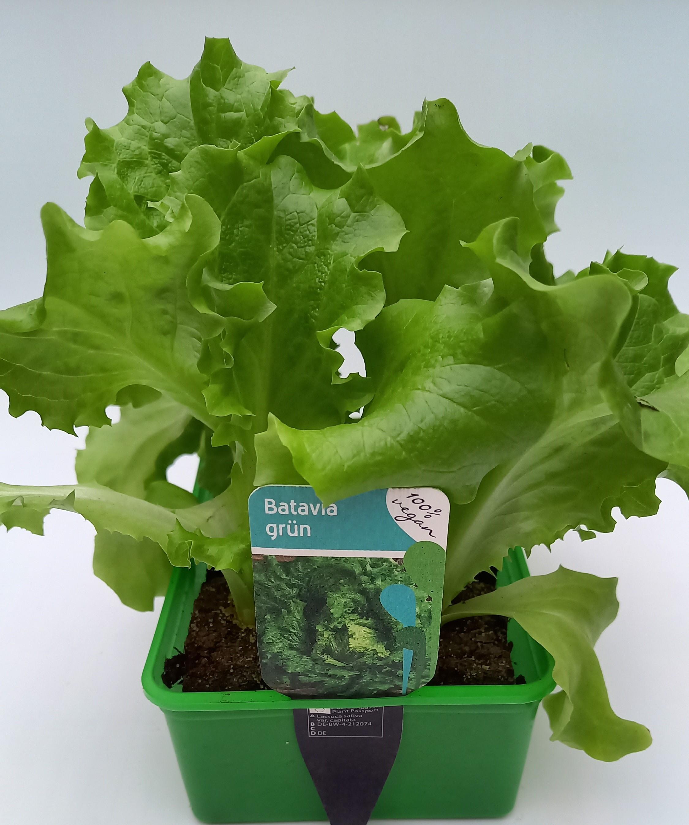 Batavia Grün Salat  6er Schale
