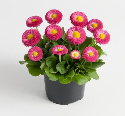 Edel Gänseblümchen (Bellis) rosa kleinblütig