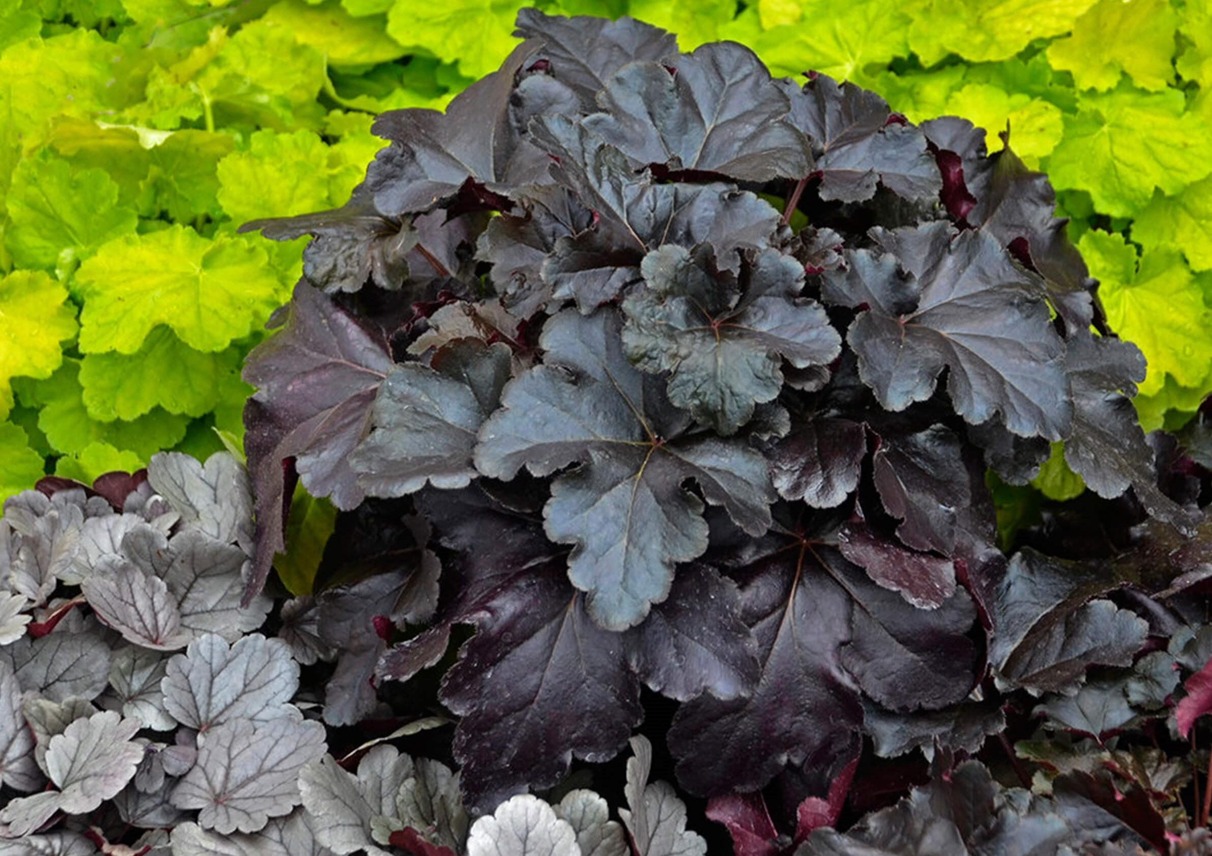 Purpurglöckchen (Heuchera) 'Black Pearl' T12, violett-schwarz - winterhart -