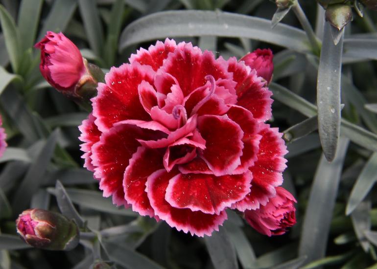 Nelke (Dianthus) T12 Diantica Burgundy - Duft-Staudennelke winterhart