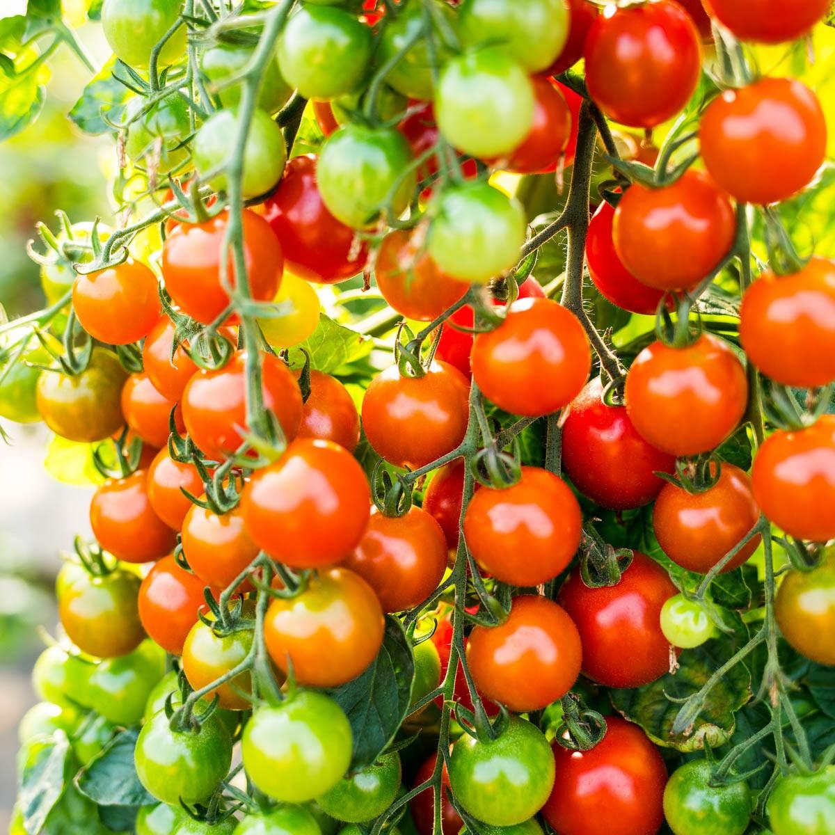 Cherrytomate 'Sanvitos' (Favorita), veredelt