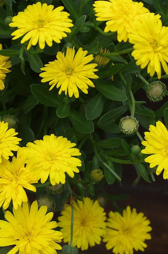 Ringelblume - Calendula 'Power Daisy' gelb
