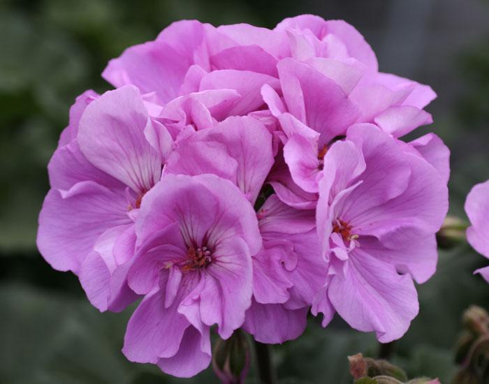 Geranie aufrecht wachsend  | Lavender halbgefüllt