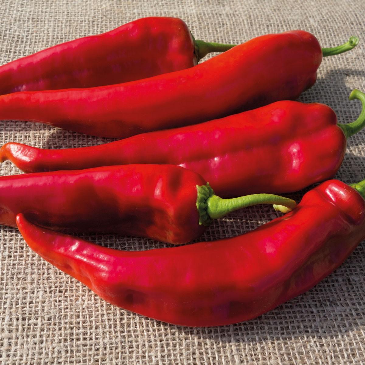 Spitzpaprika 'Lipari' rot zuckersüß