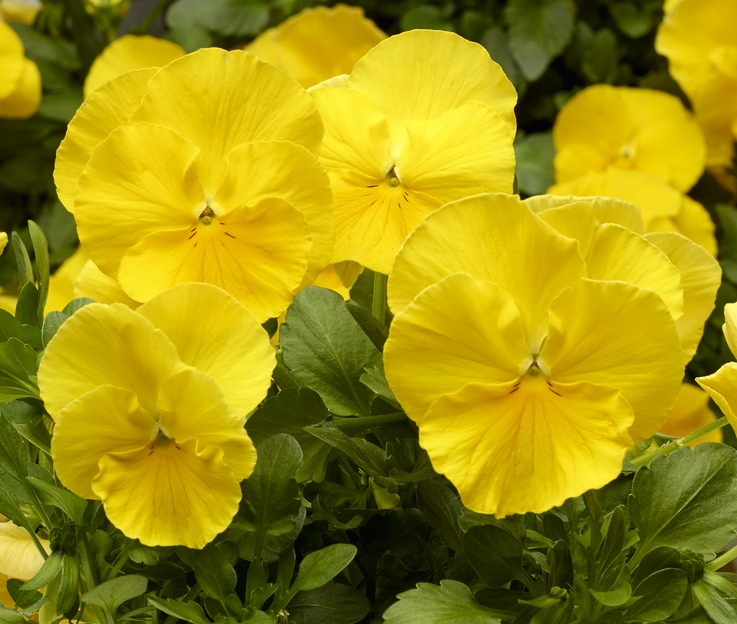 Stiefmütterchen (Viola) gelb