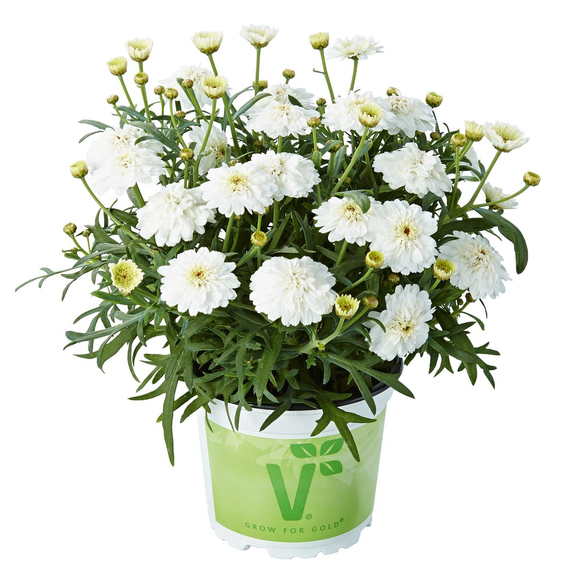 Strauchmargerite (Argyranthemum) 'weiß' gefüllt